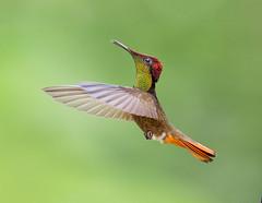 "Ruby Topaz Hummingbird in flight, Trinidad.  ""Chrysolampis mosquitus"" (pedro lastra) Tags: rubytopazhummingbirdinflight chrysolampismosquitus hummingbird flight trinidad"