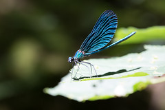 Blue dragonfly (Quetzalcoalt0) Tags: canon 100mm 6d macro is l blue dragonfly close up leaf green beautiful