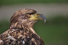 Target acquired (R.D. Gallardo) Tags: target acquired bird pajaro eye eagle prey canon eos 6d eos6d sigma 150500
