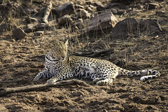 A young female Leopard, near a large watering hole. Namibia (sfrancis23) Tags: young female leopard early morning sun near large watering hole namibia africa cat nikon dirt dust feline bigcat d800 70200mm bigfive