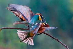 Gruccioni (Gianluca Mariani Nature Photographer) Tags: progetto facebook liciacolò africa dirette avventure web gruccioni ilmondoinsieme