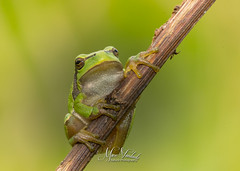 European tree frog (fire111) Tags: european tree frog boomkikker nature wild wildlife photographing macro closeup