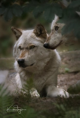 Timber Wolves (yadrad) Tags: timberwolves timberwolf greywolf zoo dartmoorzoologicalpark carnivore ngc animal dartmoorzoo