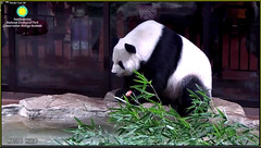 Tian Tian (Ahhh, enjoying my apple with my peeps looking on. I like to set a good example for the young cubs, showing them an apple a day keeps the vet away.) 2018-09-02 at 9.09.03 AM (MyFoto:)) Tags: ccncby panda endangered vulnerable tiantian smithsonian nationalzoo eating apple