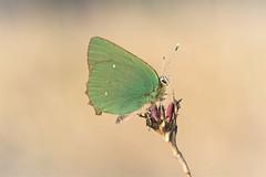 Callophrys rubi (fabriciodo2) Tags: callophrysrubi argusvert thécladelaronce papillon nature macro sigma150 forêtdefontainebleau