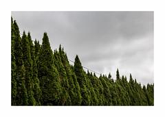 Cyprès (hélène chantemerle) Tags: cyprès cimetière arbres ciel nuages saintlo cypress cemetery sky cloudy trees