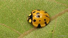 Lady Beetle, Neda aequatoriana or norrisi or Anatis lebasi? (Ecuador Megadiverso) Tags: anatislebasiidbyjaroslavvětrovec andreaskay beetle birdwatcherslodge coccinellidae coleoptera ecuador ladybeetle mindo nedaaequatoriana nedanorrisi