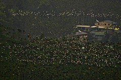 Migration (mattlaiphotos) Tags: birdwatching cattle egret areca palm mountain bird migration avifauna fly flight jiayi taiwan wildlife nature plantation flock traveling village house building chiayi countryside country