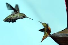 An Anna's Hummingbird and an Allen's Hummingbird posturing for dominance over a feeder, La Honda, San Mateo County, California (cocoi_m) Tags: anannasposturing dominance feeder lahonda sanmateocounty santacruzmountains california juvenile male annashummingbird calypteanna female allenshummingbird selasphorussasin
