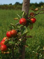 harvest series 1 (S. J. Coates) Tags: princeedwardcounty fall autumn harvest vegetables colour waupoos