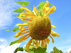 A Tired Summer (Robert Cowlishaw (Mertonian)) Tags: almostfall latesummer clouds bluesky lunchwalk canonpowershotsx60hs sx60hs powershot canon robertcowlishaw mertonian curvy sunflower slump yellow ragged forwisdommyconstantcompanion