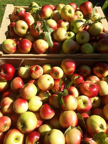 Apfelernte am Miniponyhof
