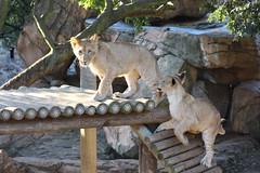 Lion Cubs (Rckr88) Tags: johannesburgzoo southafrica johannesburg zoo south africa lion lions lioncub cubs lioncubs animal animals mammal mammals zoos cute baby babyanimals babyanimal