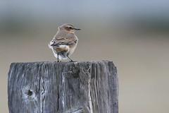 Wheatear-7D2_8911-001 (cherrytree54) Tags: wheatear canon sigma 150600 7d 7dmkii bird dungeness rspb