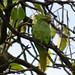 Feral rose-ringed parakeet in Amsterdam