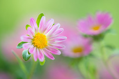 aster 5296 (junjiaoyama) Tags: japan flower aster plant pink autumn fall bokeh