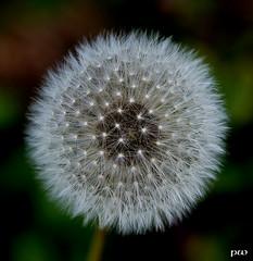 Pusteblume... (peterphot) Tags: makros pusteblume herbst sony tamron60