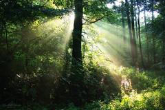Sunrise in the forest (Rita Eberle-Wessner) Tags: forest wald woods bäume trees baum tree sonnenaufgang sunrise sonnenstrahlen sunbeams sunrays tyndalleffekt tyndalleffect laubwald spinnennetz spidernet green grün sommer summer odenwald