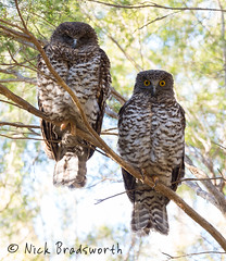 Powerful owl pair (ʘwl) Tags: powerfulowl owl australia victoria melbourne olympus 300mm f4 is pro roost male female omd em1 mark ii m43 mirrorless lightroom composite nature bird tree forest ninox strenua