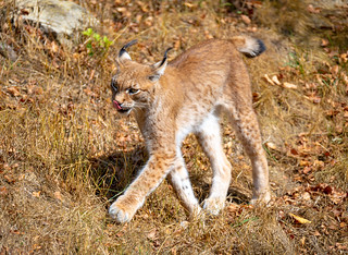 Lynx is coming out