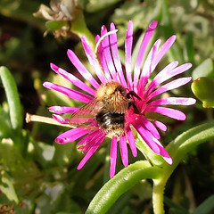 Bumblebee on midday flower (rotraud_71) Tags: bumblebee hummel mittagsblume middayflower iceplant garden macro autumn