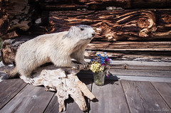 Alpine marmot in alarm position in Dolimtes mountains, European Alps, Italy. (Lucian Bolca) Tags: dolomites dolomiti dolomits italy alpine alps animal animals blue chalet closeup cottage curios eating europe flowers garden glass habitat hair isolated mammal mammals marmot marmota meadow mountain mountains natural nature outdoor outdoors portrait purple red rodent rodents squirrel switzerland table watching wild wilderness wildflowers wildlife wood yellow young