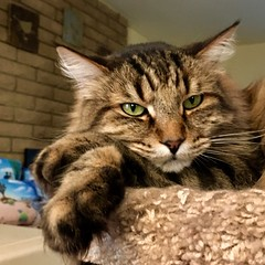 One of those moods... (A Wild Western Heart) Tags: furkid fridaynight gato chat cat rescue tabby chucky chuckythehorrible