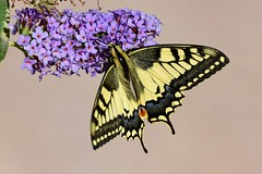 DSC_3477 (sylvettet) Tags: swallowtailbutterfly machaon 2018 butterfly papillon insecte nikon animal