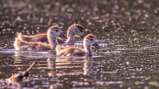 Sunset goslings...