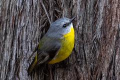 Eastern Yellow Robin (Eopsaltria australis) (petermurphy14) Tags: australiannationalbotanicgardens canberra canberrabirds easternyellowrobin eopsaltriaaustralis robin australianbirds birds birdsofaustralia wildlifeofaustralia