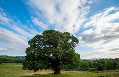 Ancient chestnut and the South Downs (Daniel James Greenwood) Tags: cowdraypark sweetchestnut castaneasativa nikond750 nikon1635mmwideangle danielgreenwood southdowns southdownsnationalpark