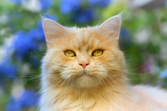 Greet the new week with a smile ! (FocusPocus Photography) Tags: linus katze kater cat chat gato tier animal haustier pet lächeln smile