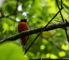20180818-0I7A9269 (siddharthx) Tags: 2018 august2018 bwcpl beautifulbirds bird birdwatching birding birdinginthewild birdsinthewild canon canon7dmkii closerange congkakhululangat cottoncarrierg3 dawn dawntilldusk ef100400f4556isii ef100400mmf4556lisiiusm forest goldenhour hide hululangat kesslerkwik lamppost88lanchang lanchang my malaysia pristine promediagearkatanajr promediageartr424lpmgprostix rainforest sunrise sunset trek weekendtrips wild wildbirds wildlife scarletrumpedtrogon trogon nearthreatened