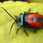 Leaf beetle, Aspicela bourcieri, Chrysomelidae thumbnail