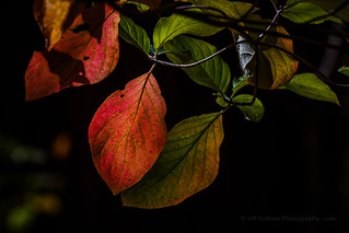Dogwood Leaves in Fall