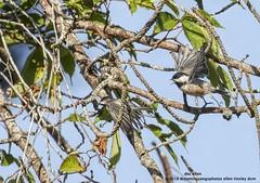 Carolina Chickadee (doc ellen) Tags: jordanlake carolinachickadee jordanlakestatepark songbird flycatcher