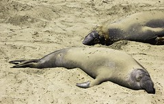 Elephant Seals Resting (Blazing Star 78613) Tags: piedrasblancascalifornia piedrasblancas seal elephantseal northernelephantseal marinemammal 1 hwy1 californiacoast californiahwy1