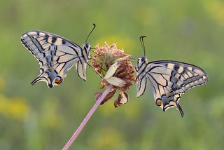 *swallowtails @ friends for one night*