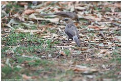 Large Grey Babbler (गैगई, घुघोई) - Argya malcolmi (jhureley1977) Tags: largegreybabbler गैगई घुघोई argyamalcolmi birds birding indiabirds indiabirding2018 birdsofindia birdsindia ashjhureley avibase naturesvoice bbcspringwatch rspbbirders orientbirdclub ashutoshjhureley rspb