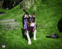 6ta Caminata Mundial por los Derechso de las Razas Fuertes (2018 (Luz_Luque) Tags: pitbull perros cachorros parque bogota apbt bullterrier staffy rottweiler dogs love animal