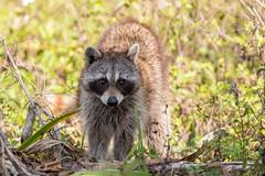 Raccoon (Linda Martin Photography) Tags: wildlife nature raccoon fortdesoto florida us animal procyonlotor tampa naturethroughthelens alittlebeauty coth specanimal coth5 ngc npc