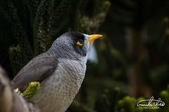 Common Mynah (Theo Crazzolara) Tags: commonmynah mynah bird animal vogel sydney australia newsouthwales wild wildlife cute nature natural