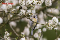 Bluetit in  blackthorn blossom (Woodpecker1952) Tags: bluetit blackthorn bird spring nature