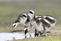 Cape Barren Goslings (Jims Wildlife) Tags: capebarrengoose gosling bird australia cereopsisnovaehollandiae