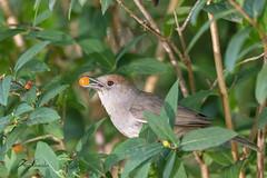 Fauvette à tête noire (femelle) (sfrancois73) Tags: oiseau faune abreuvoir jardin