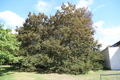 Ironwood Tree by the Shirley Sherwood Gallery (stephenmid) Tags: kew royalbotanicgardenskew