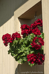 Flowers of Summer 3 (photoeclectia1) Tags: flowers geraniums summer