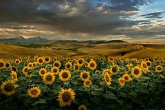Girasoli (Zz manipulation) Tags: art ambrosioni zzmanipulation campagna landscape natura girasoli cielo nuvole colline giallo