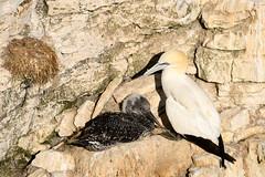 RSPB Bempton (J Harwood Images) Tags: 200500 2018 d500 england nikon yorkshire gannet bird cliff nest chick