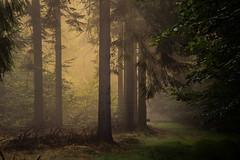forest series 102 (Stefan A. Schmidt) Tags: meschede nordrheinwestfalen deutschland de pentaxart forest light sunbeam sunlight trees tree goldenhour golden